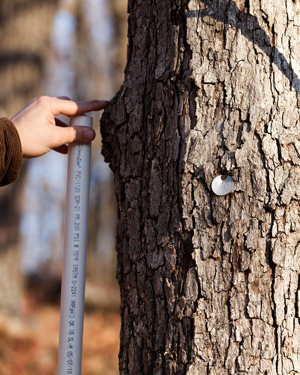 Hand of researcher measure a tagged tree at Tyson Research Center.