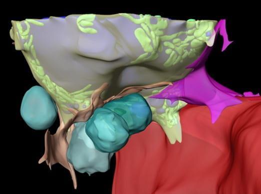Characterization of the bone marrow adipocyte niche with 3D-EM.