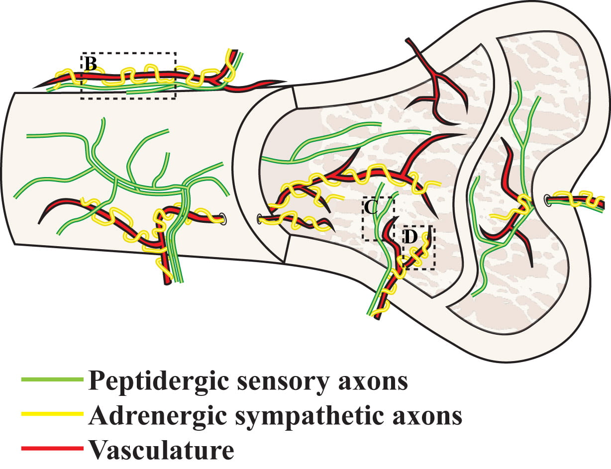 Nerves in bone: evolving concepts in pain and anabolism.