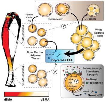 Bone marrow adipocytes resist lipolysis and β-adrenergic stimuli