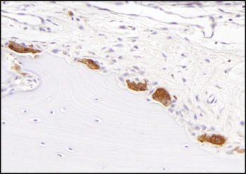 Immunostaining of Skeletal Tissues