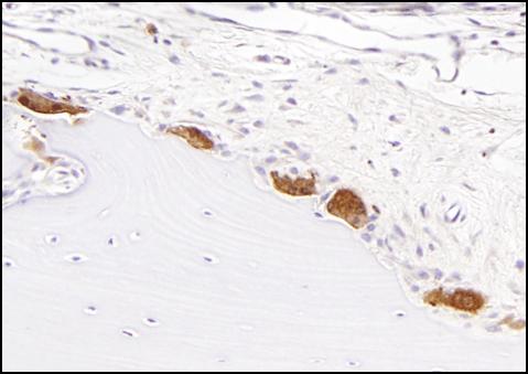 Immunostaining of Skeletal Tissues