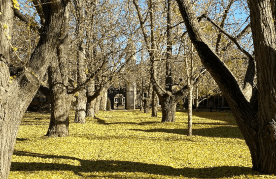 The Restorative Power of Ginkgo Leaves