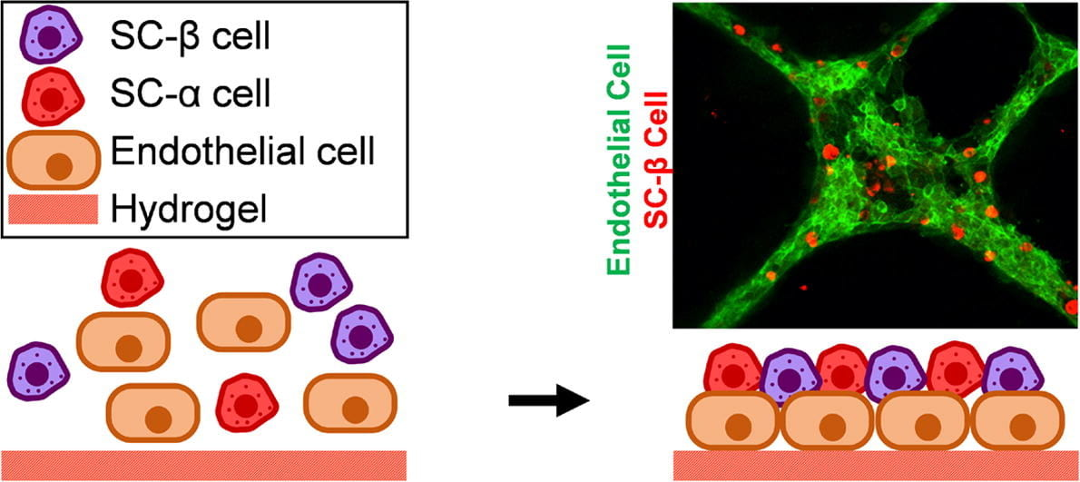New Platform for the assembly of islet organoids from stem cells