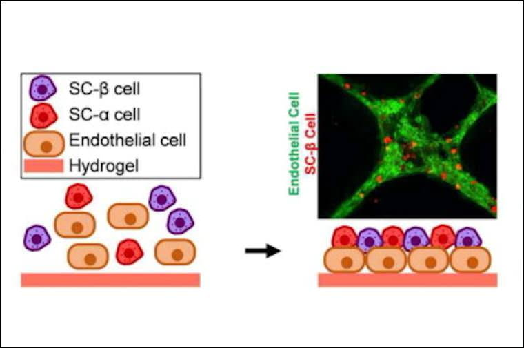 Platform for the assembly of islet organoids from stem cells