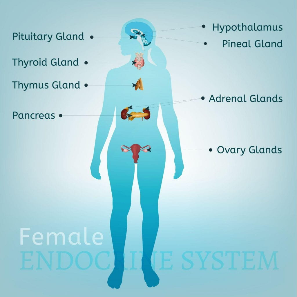 Endocrine System John T Milken Department Of Medicine Division
