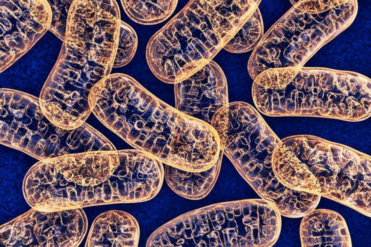 Mitochondria Heart Artist Rendering