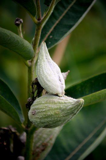 Common milkweed seedpods