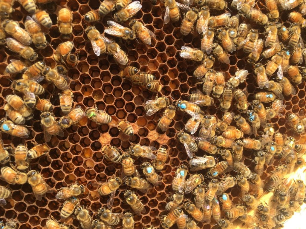 New publication: The gut microbiome defines group membership in honey bee colonies