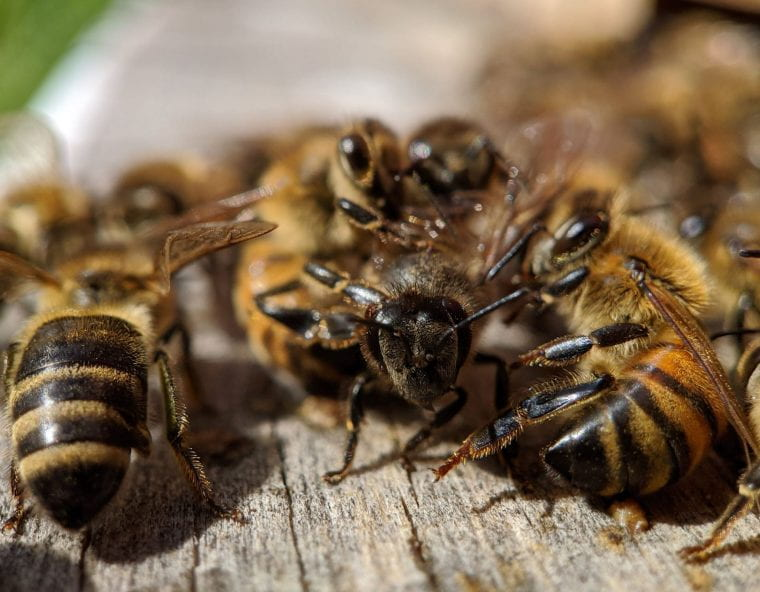 In the news: The secret life of bee bacteria
