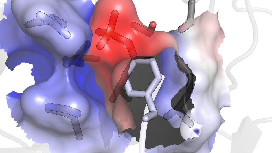 Phosphotyrosine interacting with an SH2 domain