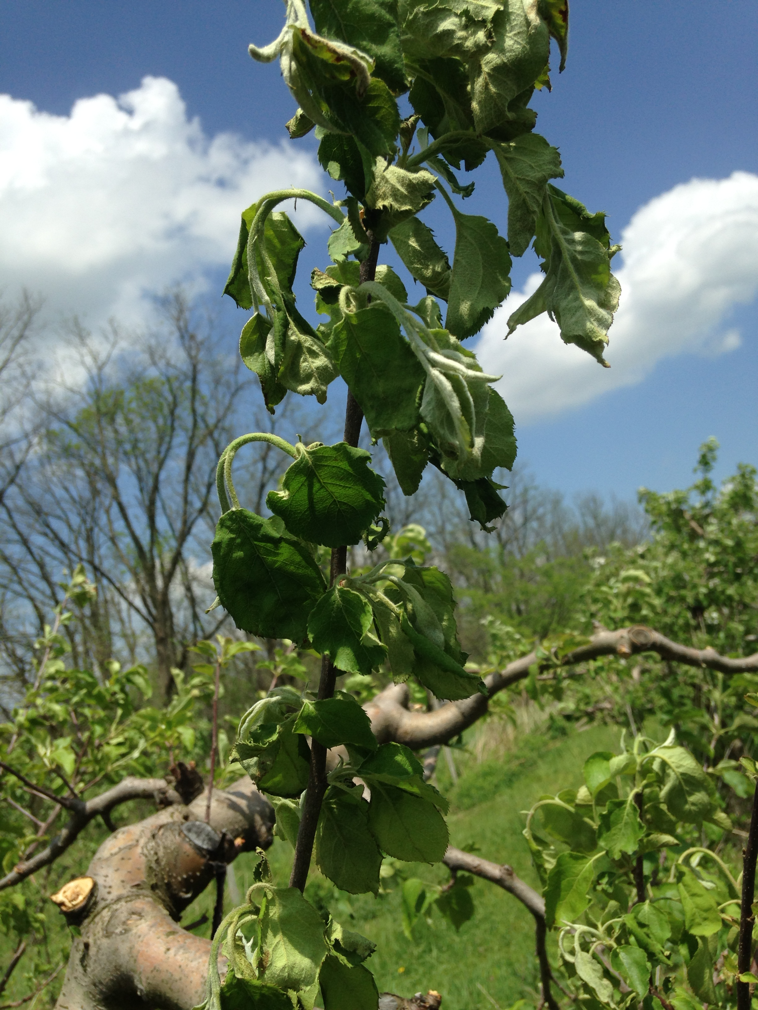 Fire Blight Of Apple Trees Wayne County Integrated Pest