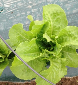Here is a head of lettuce that is looking great. The growers really, are doing a great job despite the cold weather and the excessive rain.