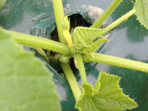In this picture you can see the squash beginning to develop on the plant.
