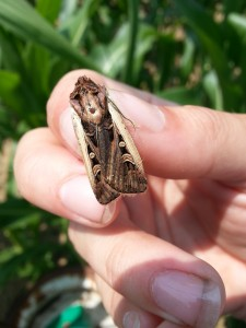 The Western Bean Cutworm Moth.