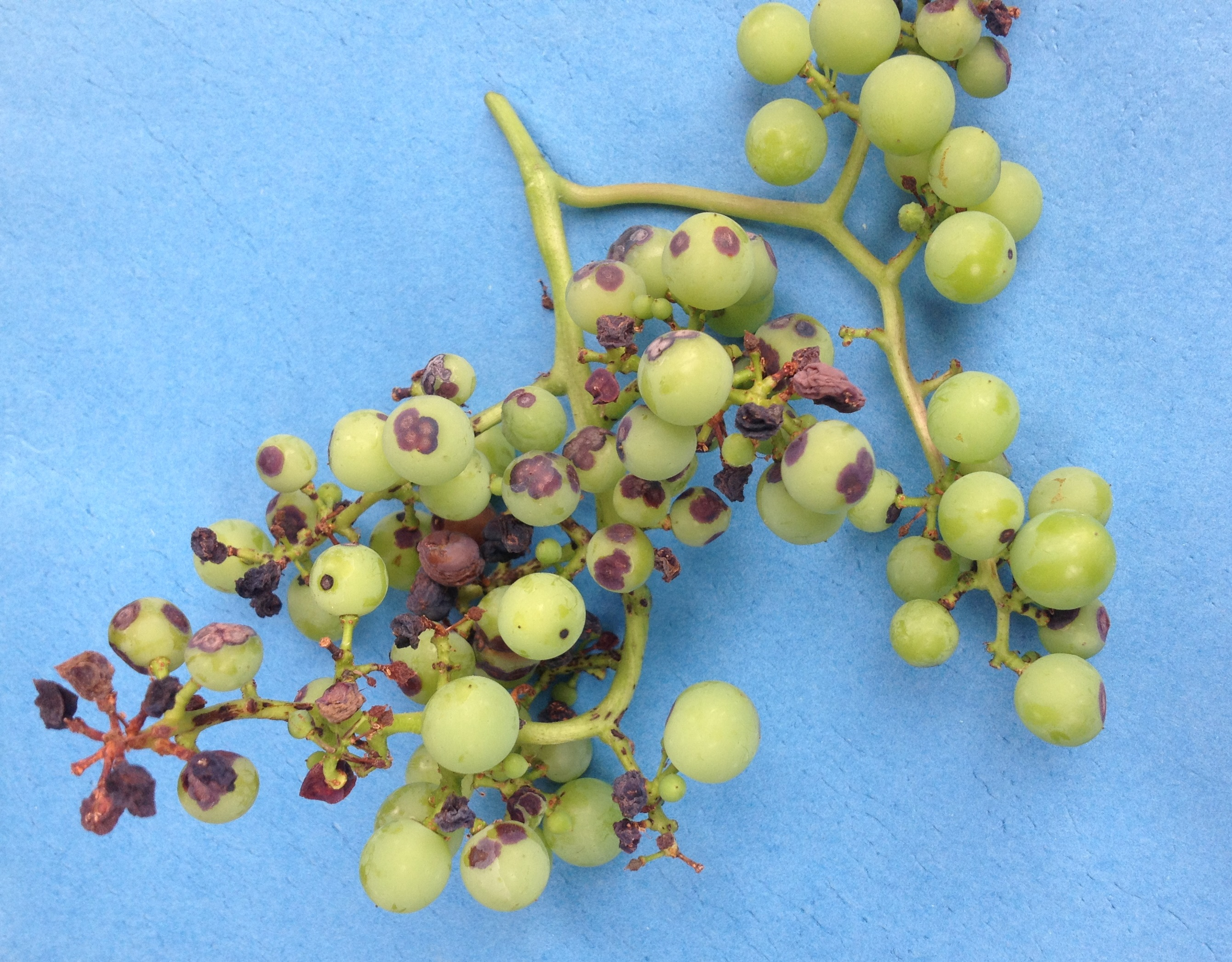 how to grow black grapes