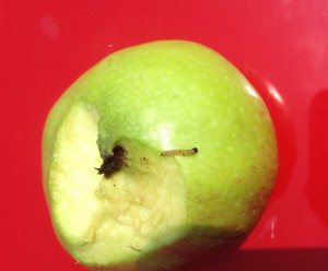 codling moth larva in apple