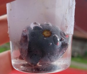SWD larvae in grape