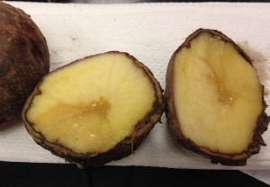 bacterial soft rot in potato tuber