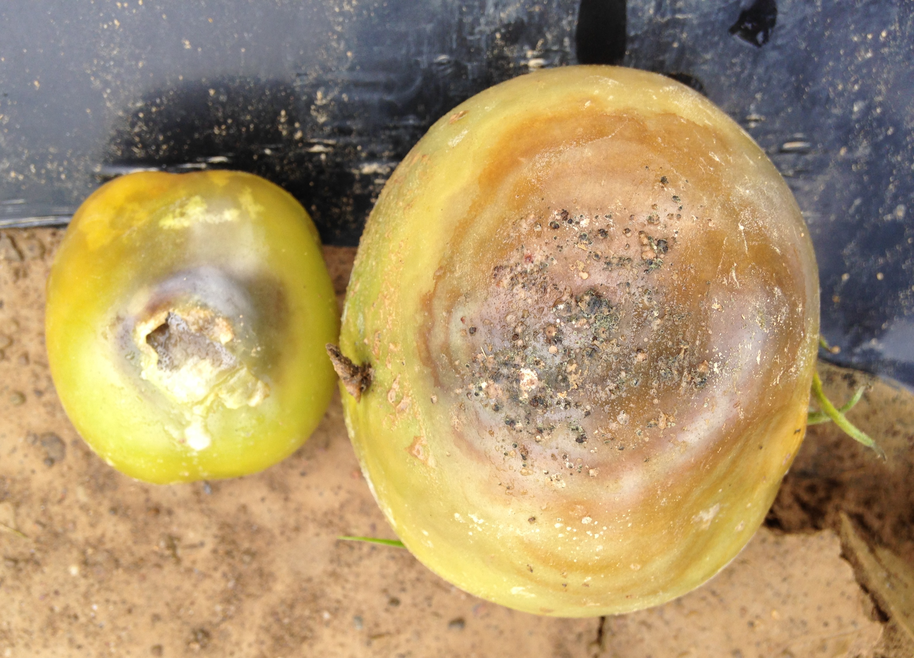 Diseases Found In Tomato Plants | Wayne County Integrated ...