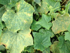 downy mildew, cucumbers 8-12-14