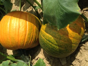 healthy pumpkins turning color