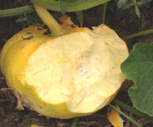 large animal, severe damage to cucurbit