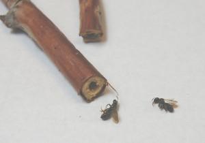 lesser carpenter bee, raspberry canes
