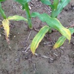 Bottom Corn Leaves Yellowing By C.S