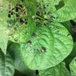 J Beetles