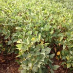 Drought stress, soybean plants