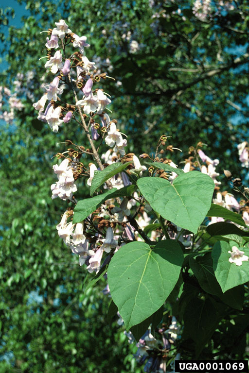 Paulownia Is Becoming A Royal Pain Seohiowoods