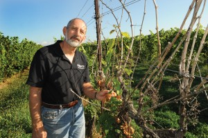 Nick Ferrante checks his vineyards in Ashtabula County. The winter of 2013-14 devastated his crop. But OARDC research offers hope for recovery.