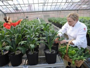 Lesa Holford, right, corporate executive chef with Ohio State University's Student Life Dining Services department, and Courtney George, a sophomore food science major, tend plants they've helped grow in a university greenhouse. (Photo: K.D. Chamberlain, CFAES  Communications.)