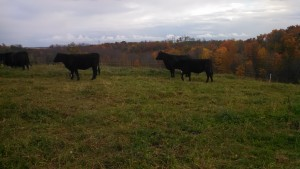 11-1-14 Cows Grazing-Mom's