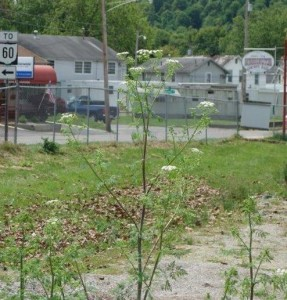 Poison Hemlock tall plant cropped