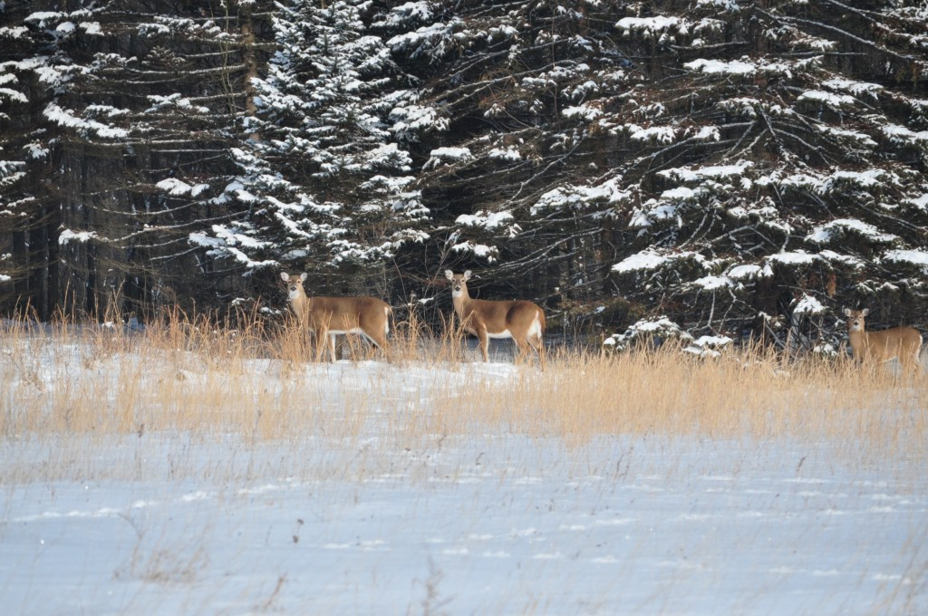 Deer often graze in grasslands at the edge of the forest at Ohio State Mansfield. Ohio State Extension is conducting a study on deer pressure at the campus.