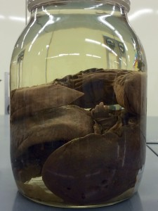 A jar containing two Eastern Hellbenders from our collection
