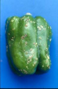Bacterial spot on green pepper fruit.
