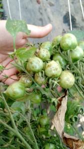 TSWV Tomato cluster green