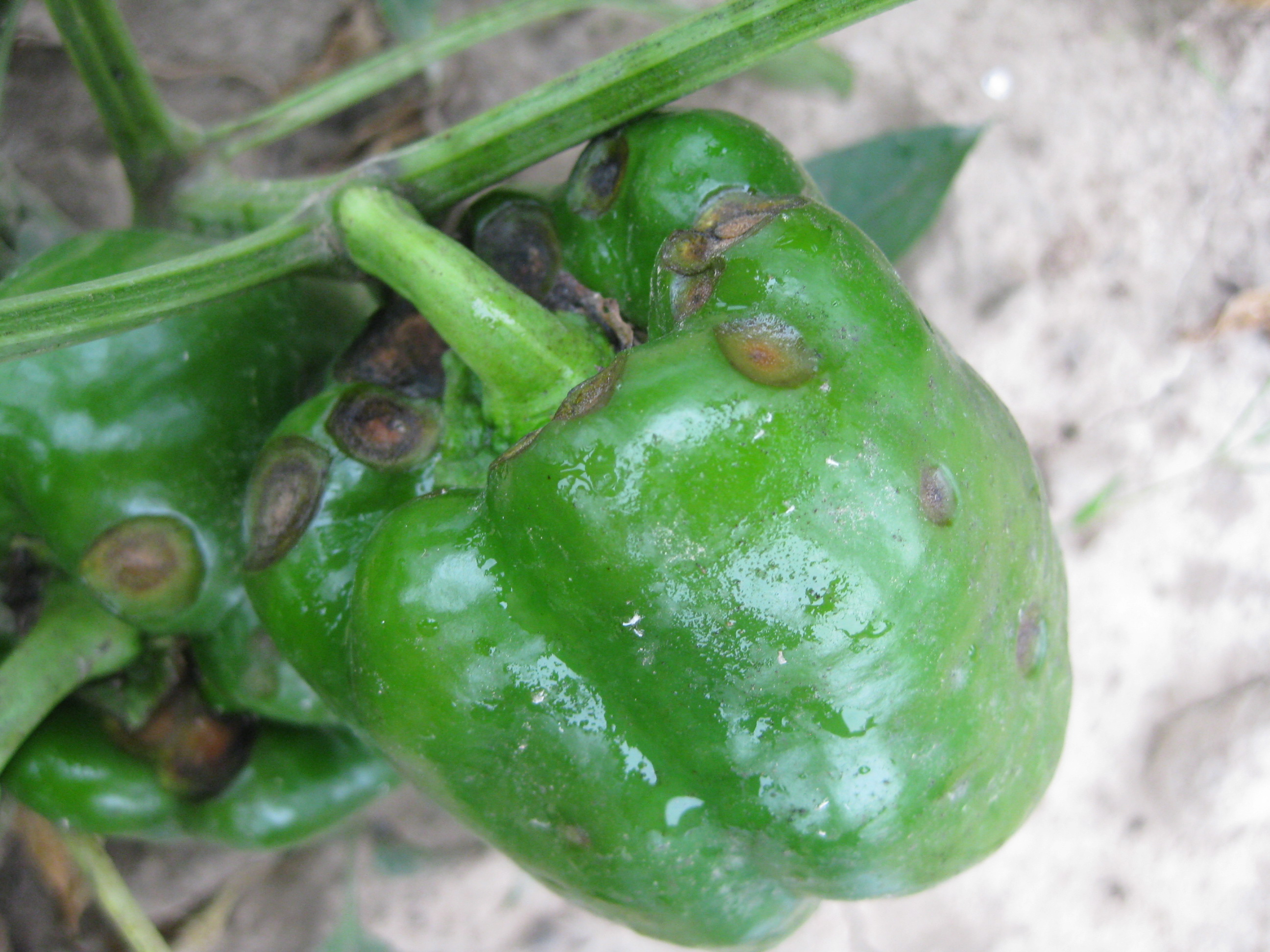 Preventing Anthracnose in Peppers and Tomatoes | Ohio Veggie Disease