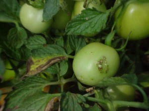 Bacterial canker - tomato fruit