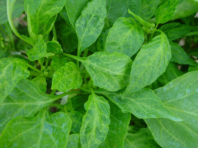 CMCpepperleaf3 copy 50QUALITY