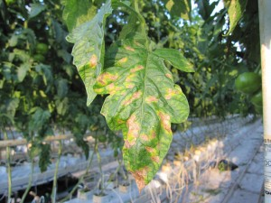 GH Powdery mildew