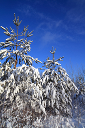 conifers in snow for GB