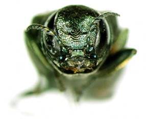 closeup of emerald ash borer
