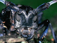 Asian_longhorn_beetle for GB