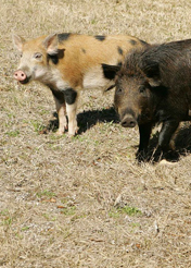 feral pigs for GB