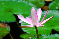 olentangy wetland lily for GB