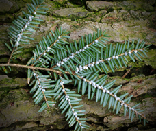 small image of hemlock woolly adelgid